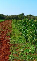 Malvasia Vine on Terra Rossa soil.JPG