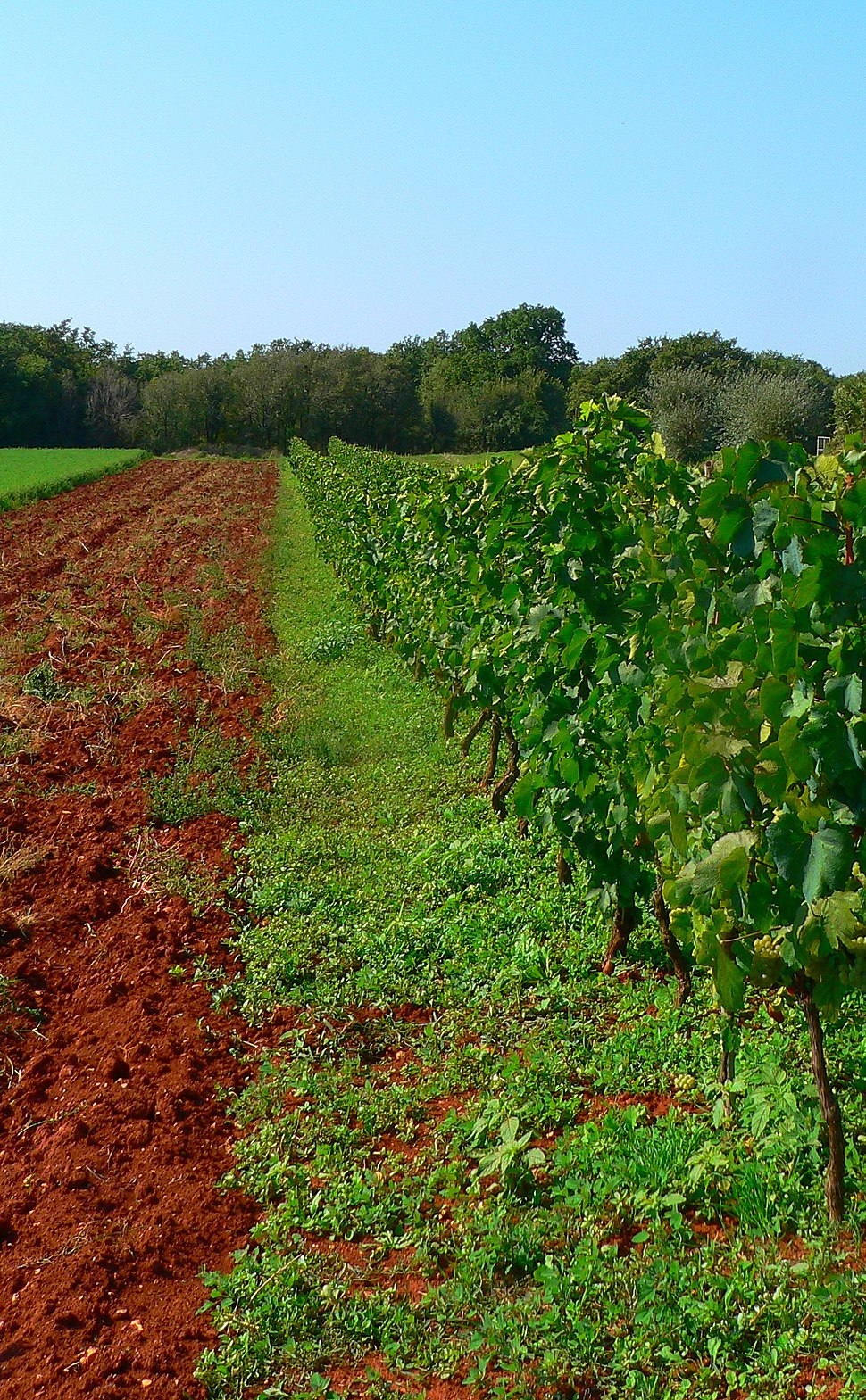 Malvasia Vine on Terra Rossa soil