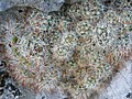 Mammillaria erythrosperma (5757384191).jpg