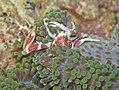 Manado 1-12-11 - 47 porcelain crab (6567954577).jpg