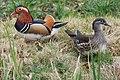 Mandarin ducks, man and wife, always together in Warnsborn ponds Schaarsbergen - panoramio.jpg