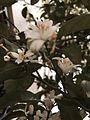 Mandarin flowers.jpg