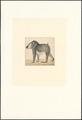 Mandrillus leucophaeus - 1788-1863 - Print - Iconographia Zoologica - Special Collections University of Amsterdam - UBA01 IZA1000792.tif