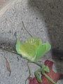 Mantis wings spreaqd.jpg