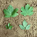 Maple leaves pseudoplatanus platanoides campestre negundo.jpg