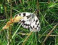Marbled White. Melanargia galathea - Flickr - gailhampshire (6).jpg