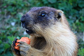 Marmota sibirica - (Russia, Mongolia) - Rochers-de-Naye, Switzerland, 2009