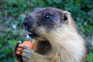 Tarbagan marmot - Image: Marmota sibirica (Russia, Mongolia) Rochers de Naye, Switzerland, 2009