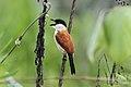 Marsh Tchagra, Luita, DRC (6700728549).jpg