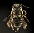 Megachile petulans, M, back, Dorchester Co, MD 2015-08-27-14.36.02 ZS PMax UDR (21376497981).jpg