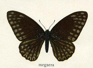 <i>Graphium megaera</i> species of insect