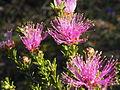 Melaleuca bisulcata (foliage and flowers).JPG