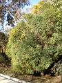 Melaleuca linariifolia 1c.JPG