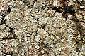 Melanelia.laciniatula2.-.lindsey.jpg