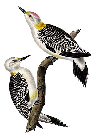 Golden-fronted woodpecker - Image: Melanerpes aurifrons AQBIP04CA