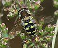 Melangyna labiatarum (female) - Flickr - S. Rae (3).jpg