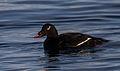 Melanitta deglandi -Iceland -swimming-8 (2).jpg