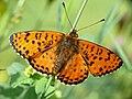 Melitaea didyma - male 03 (HS).jpg