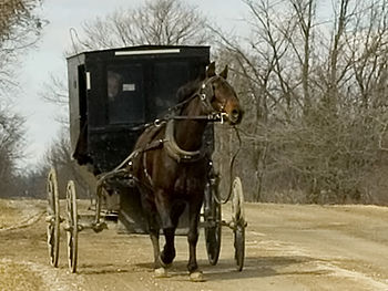 Photograph of an old order Mennonite, horse an...