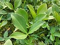 Menyanthes trifoliata sl3.jpg