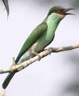 Merops viridis