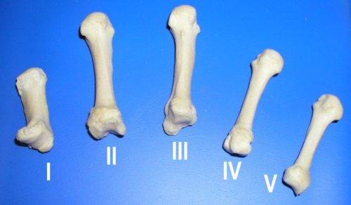 numbered metacarpals bone - 1024×597