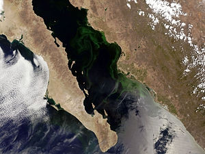English: Phytoplankton bloom in Gulf of Califo...