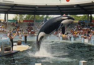 Lolita, the Killer Whale.
