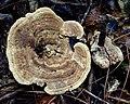 Microporellus dealbatus (Berk. & M.A. Curtis) Murrill 750991.jpg