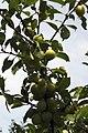 Mirabelles à Hattonchatel (lorraine) Cl J Weber03 (23675319075).jpg