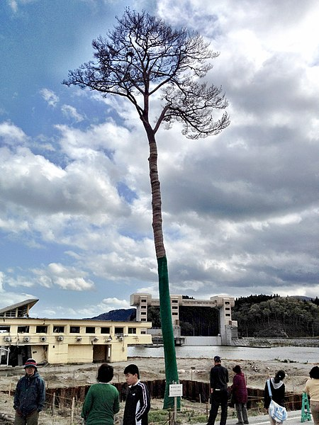 File:Miracle Pine Tree 2012-05-05.jpg