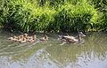 Moeder eend met veel eendjes zwemmend Holland.jpg