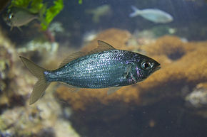 Eucinostomus sp.