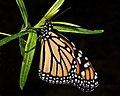 Monarch Butterfly (5281826098).jpg