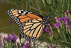 Monarch butterfly in BBG (84685).jpg
