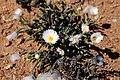 Monilaria scutata ssp. obovata (Aizoaceae) (37351248756).jpg