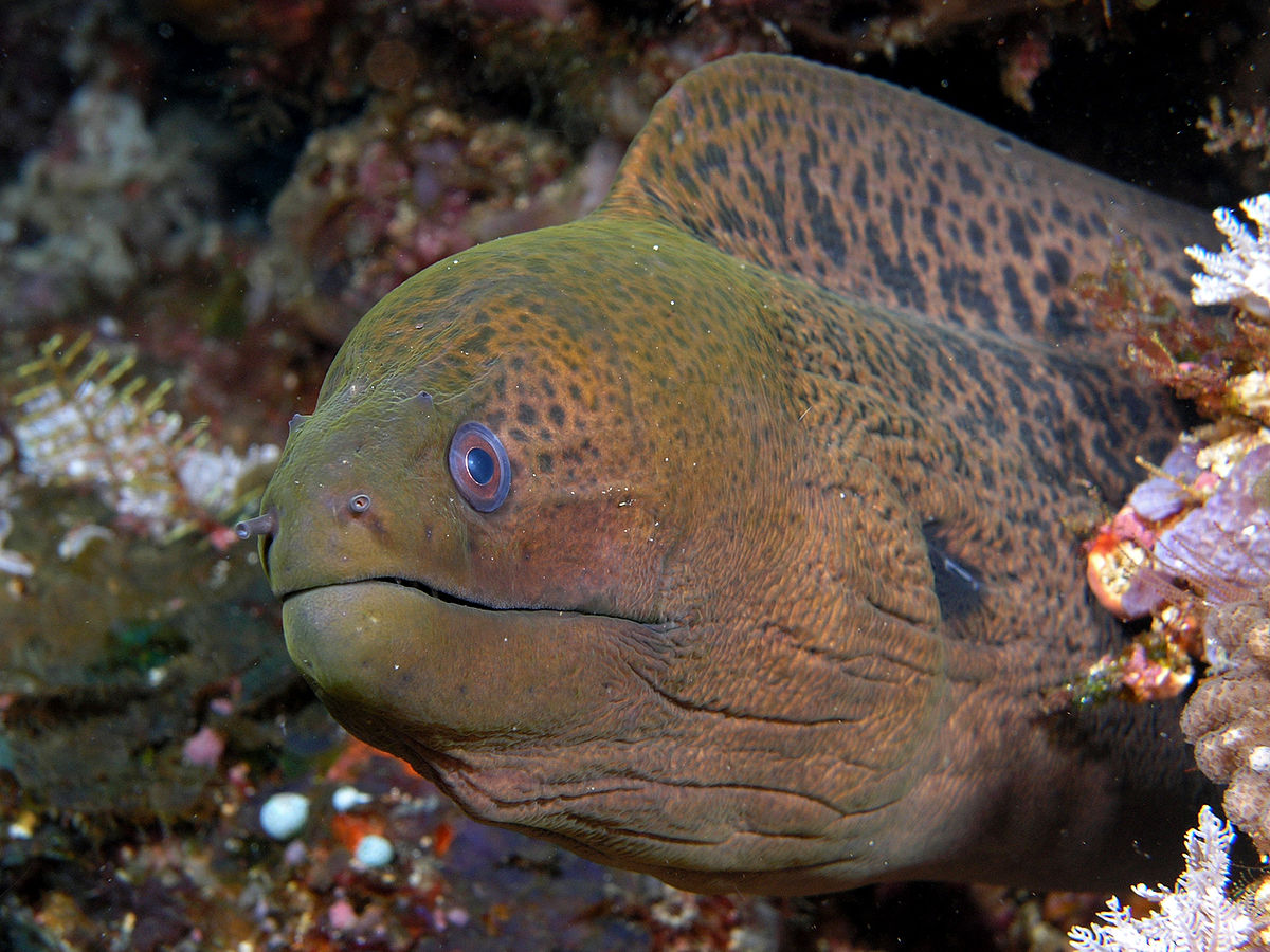 Giant moray wikipedia for Eel fish tank