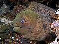 Moray eel komodo.jpg