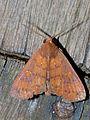 Moth (Nolidae ?) (15060492413).jpg