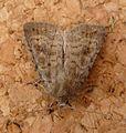 Mottled Rustic. Caradrina morpheus - Flickr - gailhampshire (1).jpg