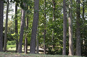 Mount Pleasant (Hague, Virginia) - Woods on the property