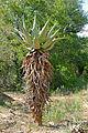 Mountain Aloe (Aloe marlothii) (16462144502).jpg