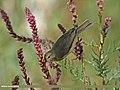 Mountain Chiffchaff (Phylloscopus sindianus) (15709540999).jpg