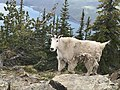 Mountain Goat on Mount Brown.jpg