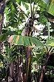Musa acuminata 18zz.jpg