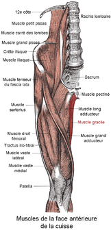 Muscle gracile.png