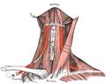 Musculus omohyoideus.png