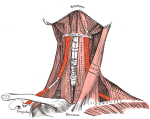 Omohyoid muscle - Muscles of the neck. Anterior view. Omohyoid is labeled on both sides.