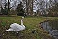 Mute swan and fulica atra in front of etang Tenreuken, Auderghem, Belgium (DSCF2958).jpg