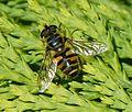 Myathropa florea - Flickr - gailhampshire (5).jpg